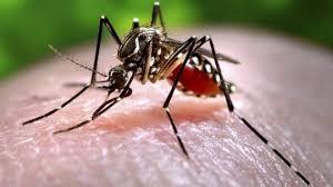 Mosquito - Julianices - PJ